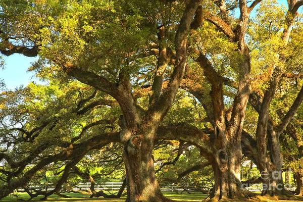Photograph - Historic Bending Oaks by Adam Jewell