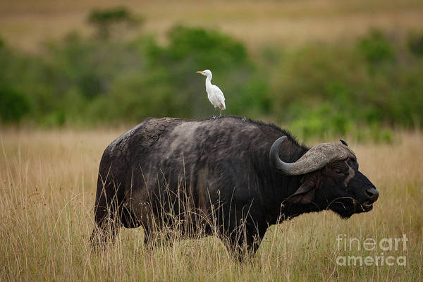 Wild Life Wall Art - Photograph - Hitching A Ride by Smart Aviation
