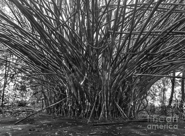 Cahuita Photograph - Massive Stand Of Bamboo by Norma Brandsberg