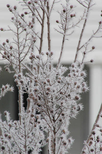 Photograph - Hoarfrost 12-21-16  7530 by Ericamaxine Price