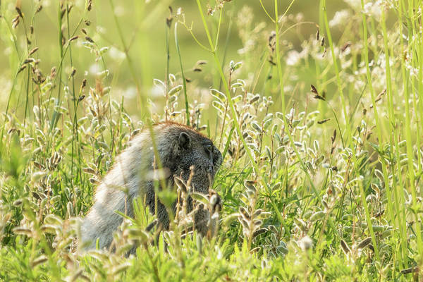 Photograph - Hoary Marmot's Peek At Paradise by Belinda Greb