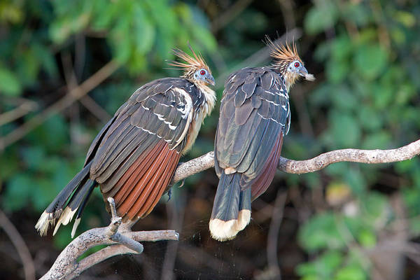 Photograph - Hoatzin Family by Aivar Mikko