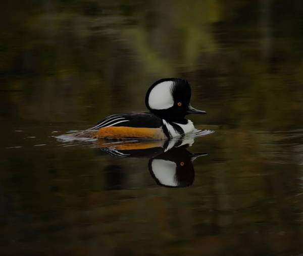 Photograph - Hooded Merganser Drake Gliding By by Dale Kauzlaric