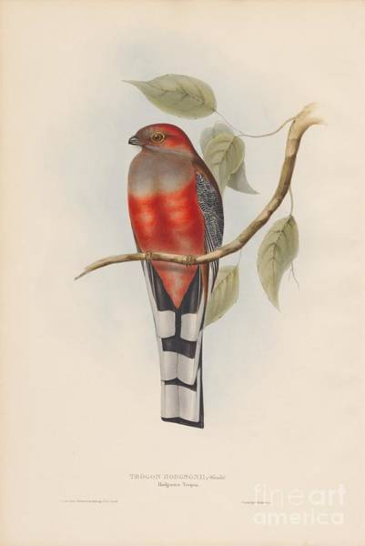 Painting - Hodgson's Trogon by Celestial Images