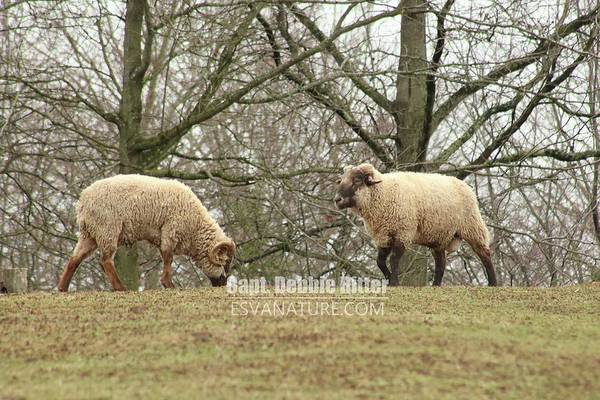 Photograph - Hog Island Sheep 8070 by Captain Debbie Ritter