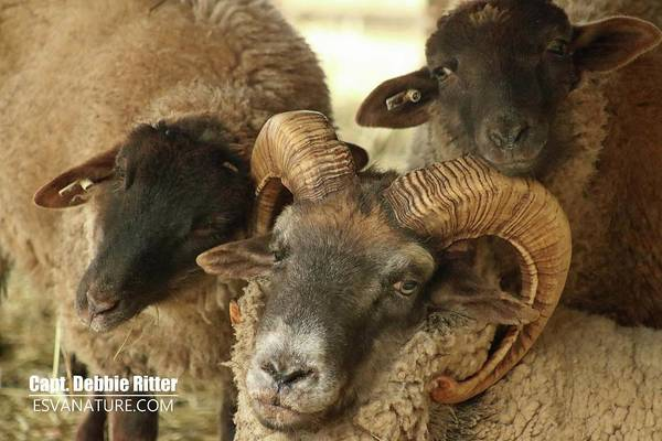 Photograph - Hog Island Sheep 8384 by Captain Debbie Ritter