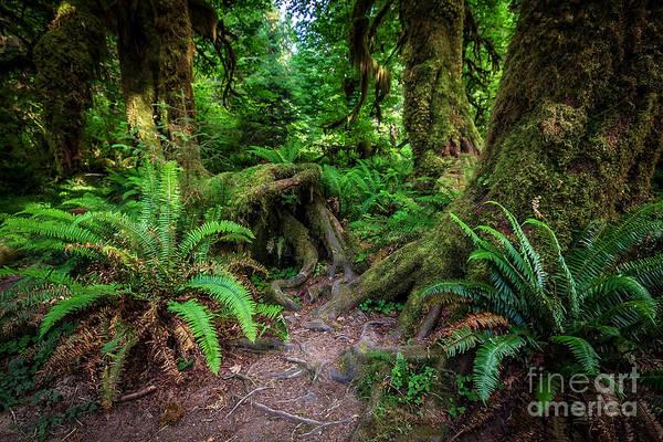 Wall Art - Photograph - Hoh Rainforest by Joan McCool