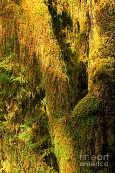 Photograph - Hoh Rainforest Soft Light by Adam Jewell
