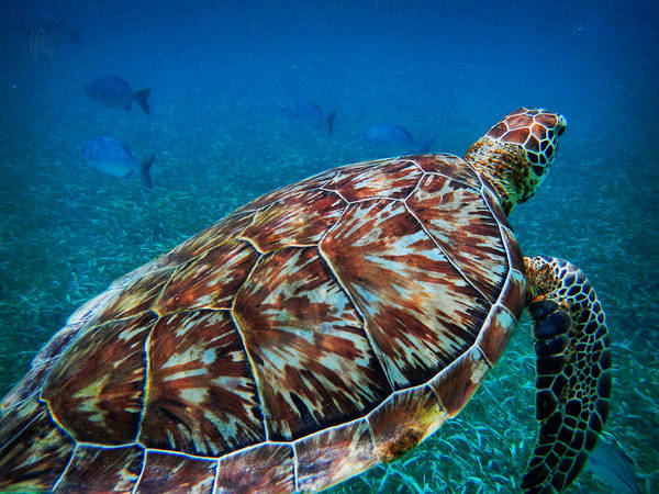 Photograph - Hol Chan Sea Turtle 001 by Lance Vaughn