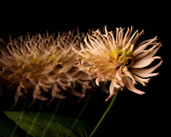 Zinnia Flower Wall Art - Photograph - Hold Still by Don Spenner