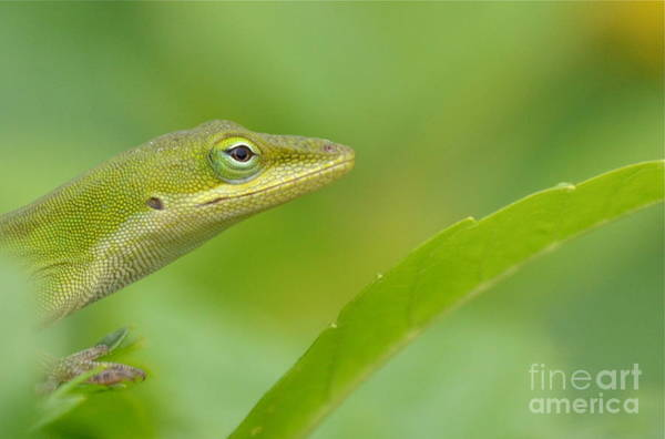 Brown Anole Wall Art - Photograph - Hold The Wrinkle Cream by Kathy Gibbons