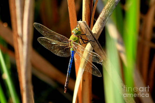 Photograph - Holding On Dragonfly Art by Reid Callaway
