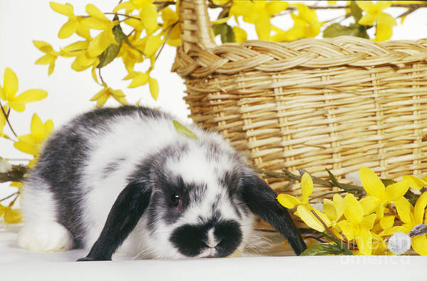Photograph - Holland Lop Rabbit With Basket by Carolyn A McKeone
