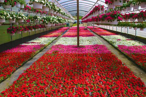 Photograph - Hollandia Begonia Greenhouse by Polly Castor