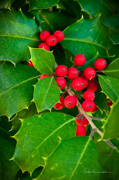 Photograph - Holly 9218 by Dan Beauvais
