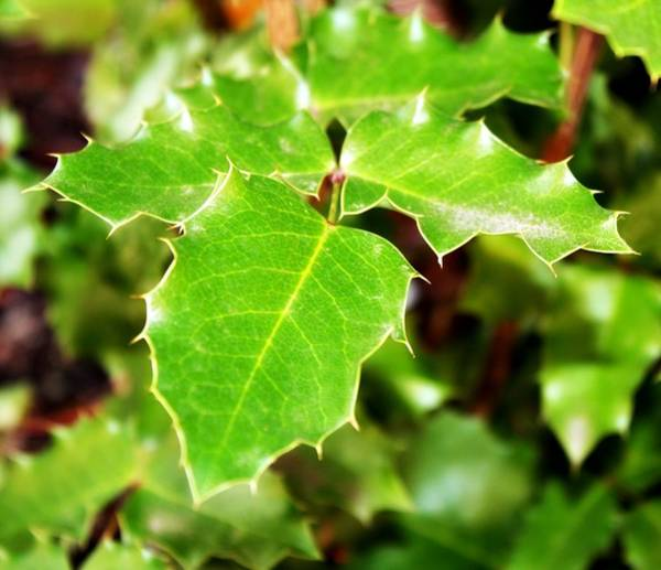 Pdx Photograph - Holly Leaves by Cathie Tyler