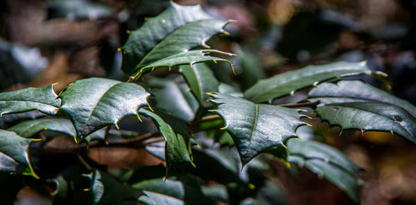 Photograph - Holly Leaves by James Woody