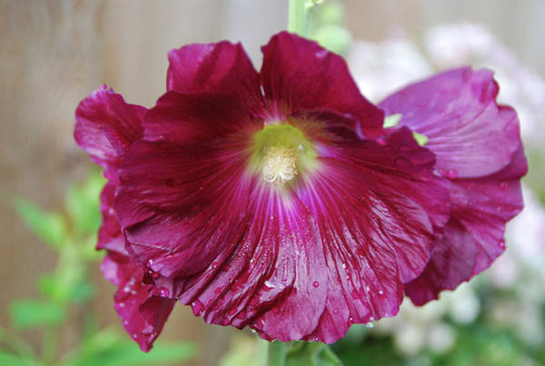 Photograph - Hollyhock 7103 by Guy Whiteley