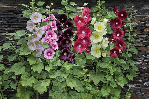 Alcea Photograph - Hollyhock Alcea Rosea Flowers by VisionsPictures