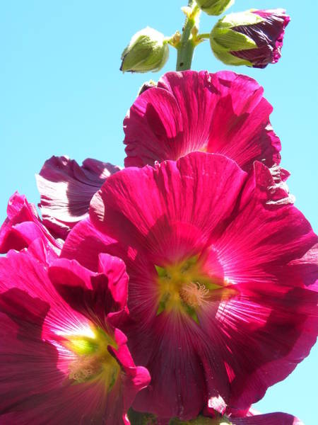 Photograph - Hollyhock by Peggy McDonald