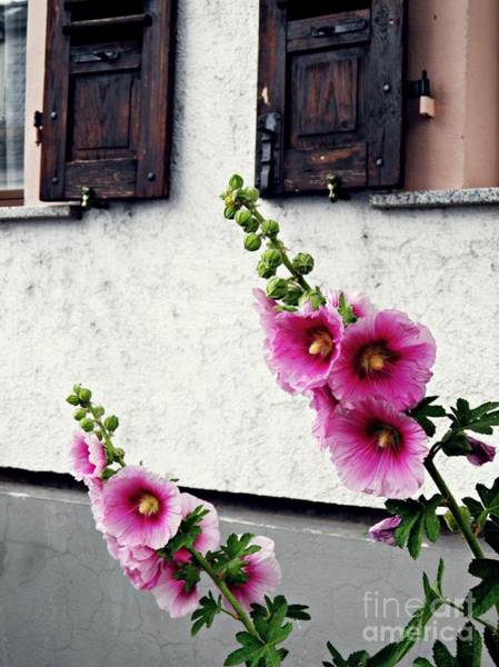 Hollyhocks In Schierstein 1 Art Print