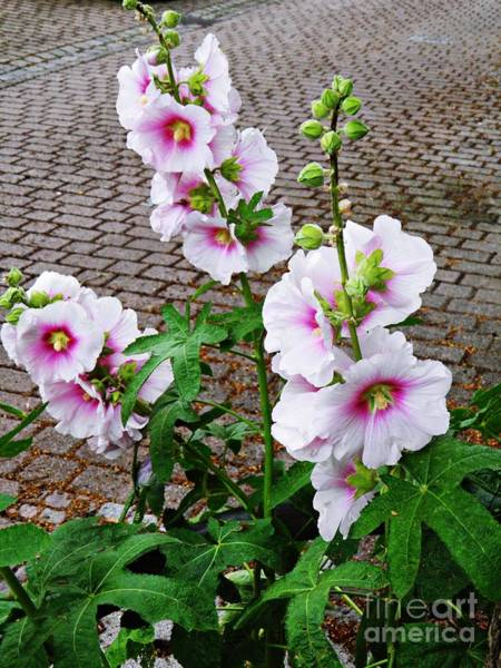 Hollyhocks In Schierstein 4 Art Print
