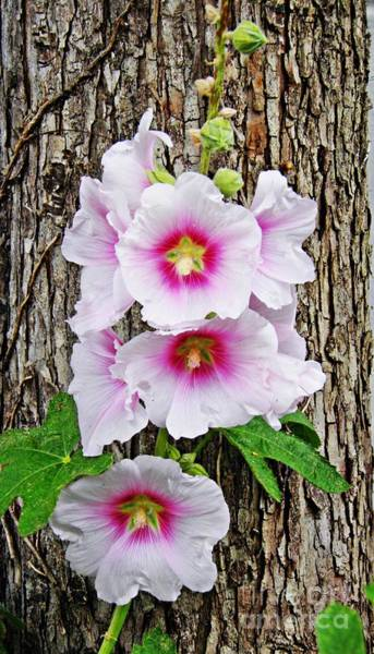 Hollyhocks In Schierstein 5 Art Print