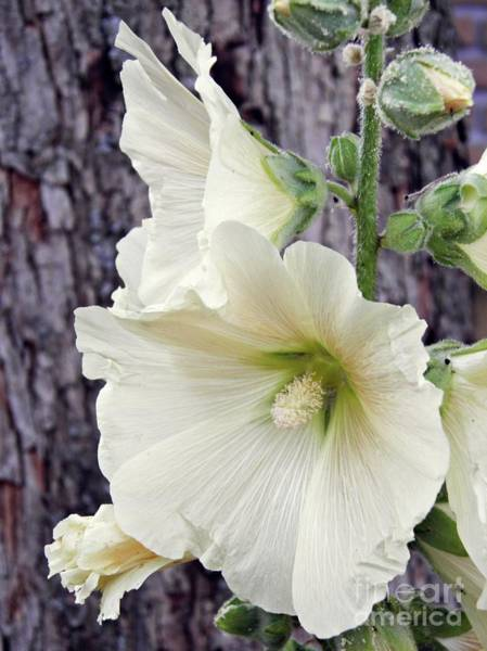 Hollyhocks In Schierstein 6 Art Print
