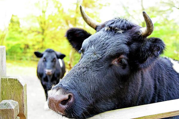Milk Farm Restaurant Photograph - Holy Cow by Evan Peller