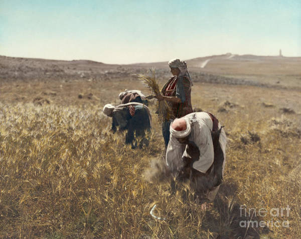 Photograph - Holy Land: Barley Harvest by Granger