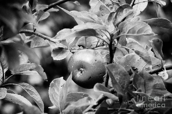 Wall Art - Photograph - Home Grown Discovery Apple Growing On A Tree In A Garden In The Uk by Joe Fox