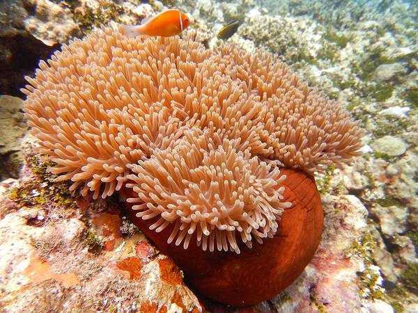 Photograph - Home Of The Clown Fish 2 by Michael Scott