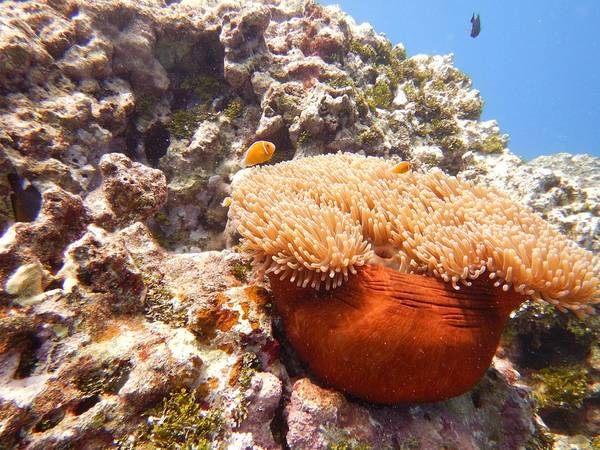 Photograph - Home Of The Clown Fish 4 by Michael Scott