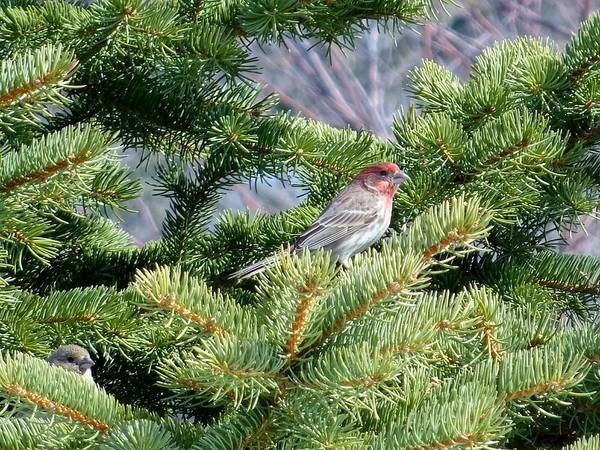 Wall Art - Photograph - Home Sweet House Finch by Red Cross