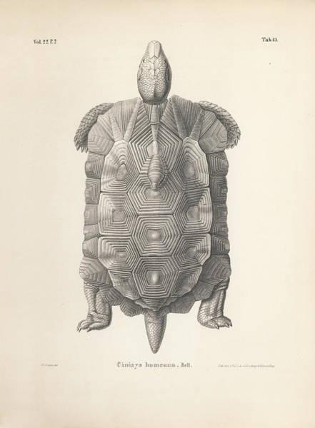 Drawing - Home's Hingeback Tortoise, Kinixys Homeana by Heinrich Grape