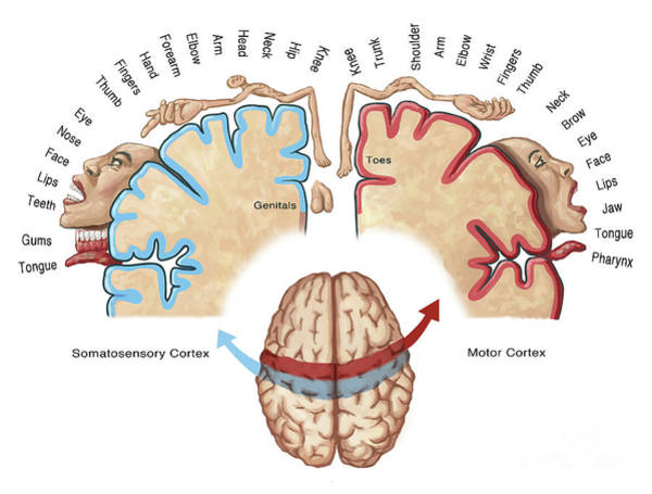 Motor Cortex Photograph - Homunculus Map by Spencer Sutton