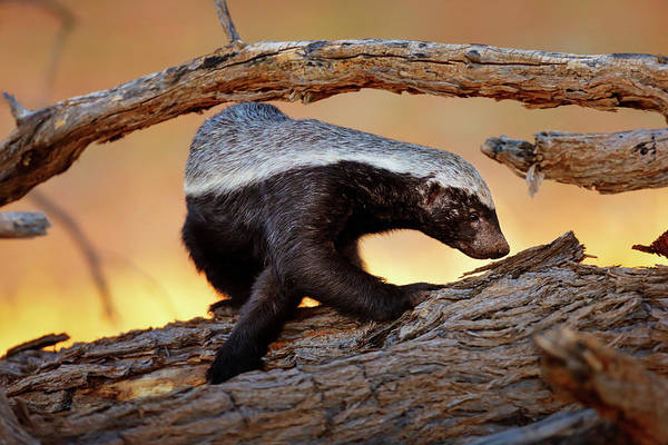 Orange Wood Photograph - Honey Badger  by Johan Swanepoel