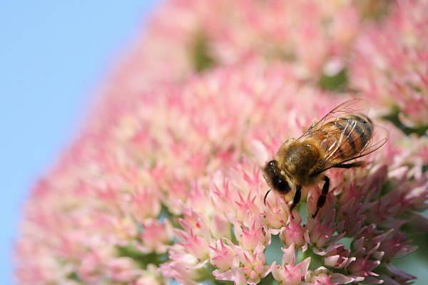 Photograph - Honey Bee 3 by Angela Rath