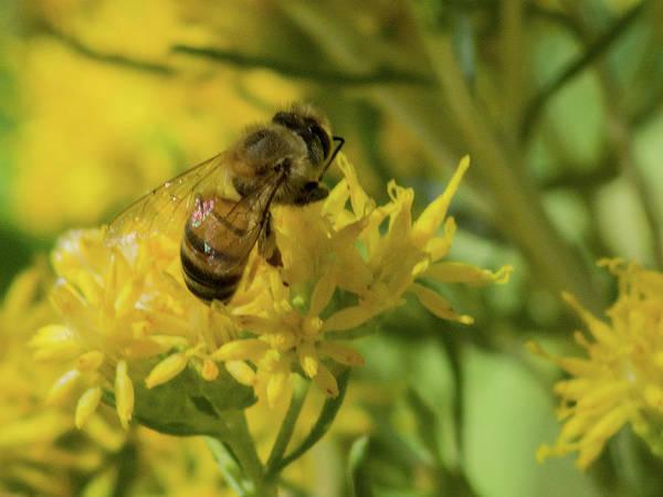 Photograph - Honey Bee 7626-101417-1cr by Tam Ryan