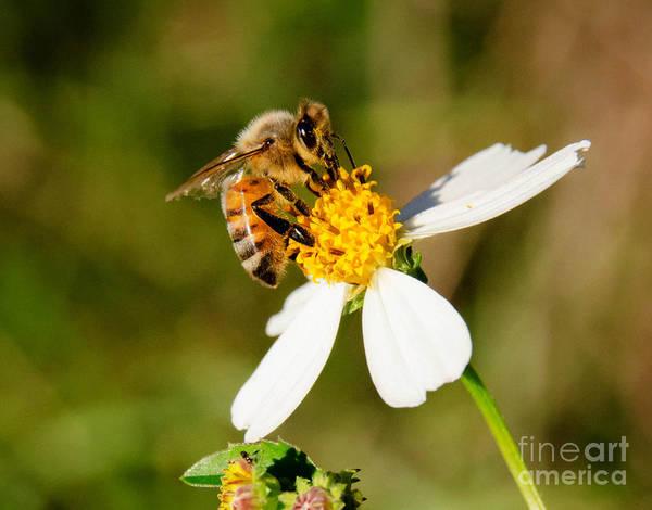 Photograph - Honey Bee by Andrea Anderegg