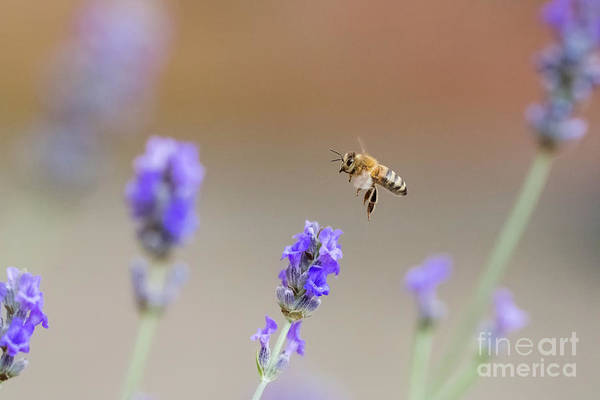 Photograph - Honey Bee - Apis Mellifera - Flying Through Lavender In Flower by Paul Farnfield