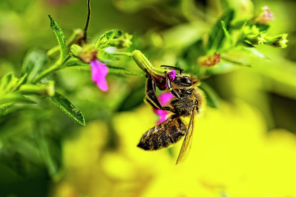Photograph - Honey Bee At Dinner  by Kay Brewer