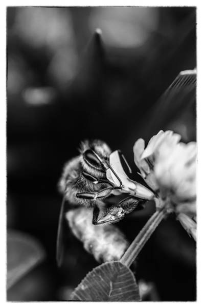 Sitting Bull Photograph - Honey Bee by James Bull