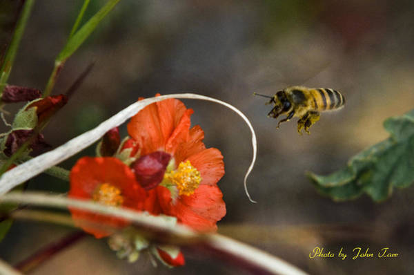 Digger Bee Photograph - Honey Bee Landing On Red Flower    by John Tarr Photography  Visual Adventurer