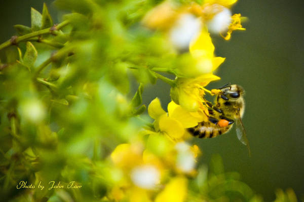 Digger Bee Photograph - Honey Bee Landing On Yellow Flower      by John Tarr Photography  Visual Adventurer