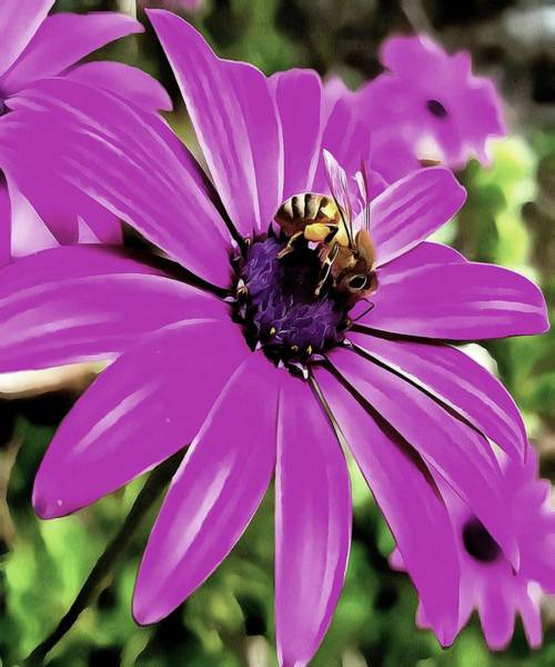 Osteospermum Painting - Honey Bee On A Spring Flower by Taiche Acrylic Art