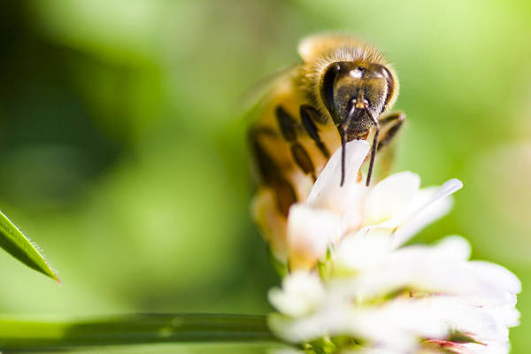 Photograph - Honey Bee On Clover Flower by Jorgo Photography - Wall Art Gallery