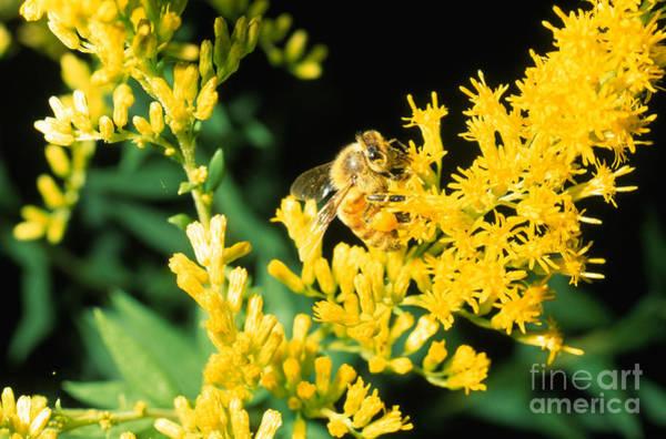 Photograph - Honey Bee On Goldenrod by John Kaprielian
