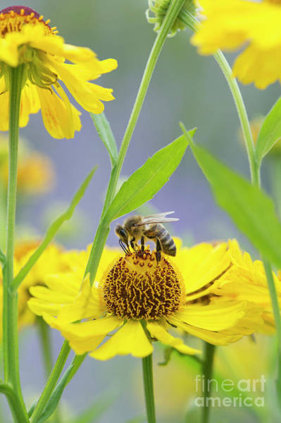 Photograph - Honey Bee On Helenium Riverton Beauty by Tim Gainey