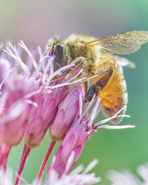 Photograph - Honey Bee On Joe Pye Weed by Jim Hughes